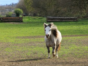 Blue Eye 17 avril 2011 Origine Constatée (Welsh Mountain Pony x ONC