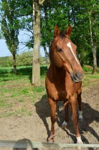 Cherokee 27 mars 1998 cheval de selle italien x anglo arabe