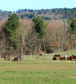 chevaux au pré en janvier